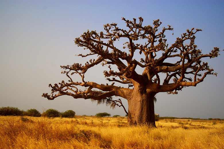 баобаб в Гамбии