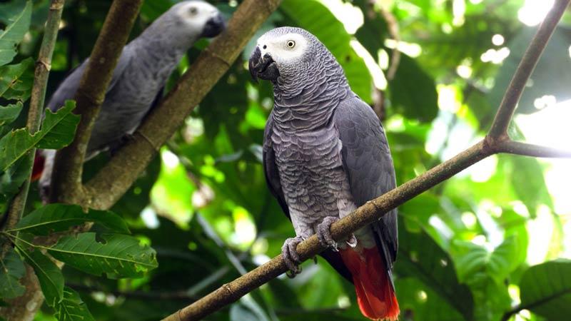 Серый попугай Жако в Парке птиц в Куала-Лумпуре