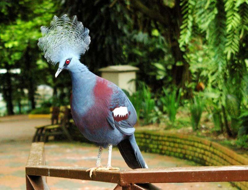 Венценосный голубь в Парке птиц в Куала-Лумпуре
