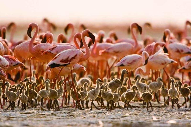 Розовые фламинго на озере Натрон